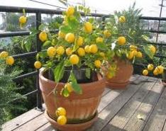 Как вырастить лимон в домашних условиях?